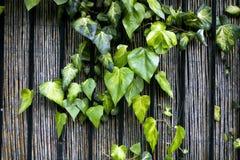 Uma hera que escala a cerca de madeira Imagem de Stock