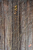 Uma hera vermelha na parede de madeira Foto de Stock