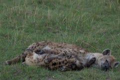 Uma hiena que nutre seu filhote de cachorro Fotografia de Stock