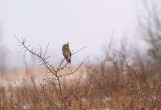 Uma história do inverno com a coruja Longo-orelhuda Imagens de Stock