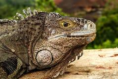 Uma ideia próxima de uma cabeça de uma iguana verde adulta imagens de stock royalty free