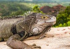 Uma ideia próxima de uma cabeça de uma iguana verde adulta, igualmente conhecida como imagem de stock royalty free
