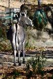 Uma ideia traseira de comer da zebra de Grevy's imagens de stock