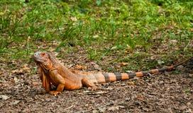 Uma iguana bonita no parque Imagem de Stock Royalty Free