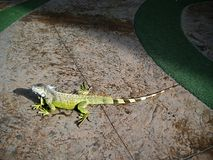 Uma iguana cruza um passeio público Fotografia de Stock