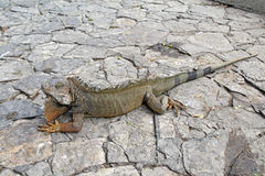 Uma iguana da terra em Guayaquil, Equador Imagens de Stock Royalty Free