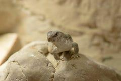 uma iguana de deserto na rocha Imagem de Stock