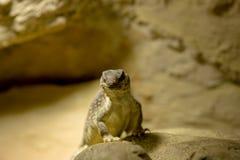 uma iguana de deserto na rocha Imagens de Stock