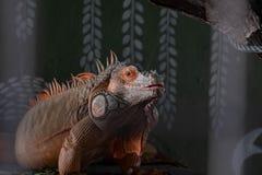 Uma iguana malaia local senta-se empoleirado em seu habitat imagem de stock