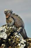 Uma iguana marinha imagem de stock