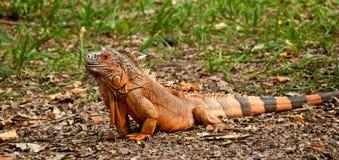 Uma iguana na grama Fotos de Stock