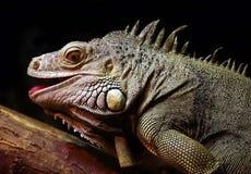 Uma iguana ordinária, ou um Lat verde da iguana A iguana da iguana é um grande lagarto herbívoro, conduzindo uma vida arborizado  foto de stock