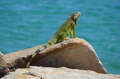 Uma iguana que expõe-se ao sol em um molhe do beira-mar Fotos de Stock