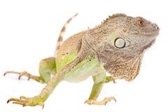 Uma iguana verde imagem de stock