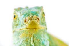 Uma iguana verde Fotos de Stock Royalty Free