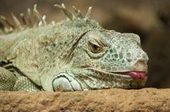 Uma iguana verde imagem de stock royalty free