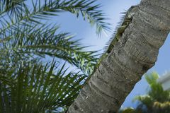 Uma iguana verde de quase 3 ` que coloca em uma palmeira em Key West, Florida Fotografia de Stock Royalty Free