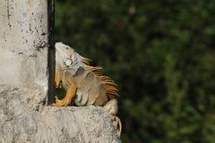 Uma iguana verde exótica da iguana da iguana que toma sol na luz solar de Florida Imagens de Stock