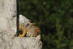 Uma iguana verde exótica da iguana da iguana que toma sol na luz solar de Florida Imagem de Stock Royalty Free