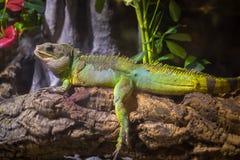 Uma iguana verde que está em um ramo Imagens de Stock Royalty Free