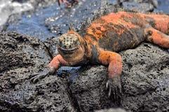 Uma iguana vermelha fotografia de stock royalty free