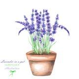 Uma ilustração com uma alfazema da aquarela floresce em um potenciômetro Foto de Stock Royalty Free