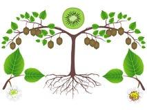 Uma ilustração que mostra partes de uma planta do quivi ilustração royalty free