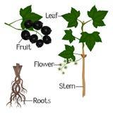 Uma ilustração que mostra partes de uma planta do corinto preto Fotografia de Stock