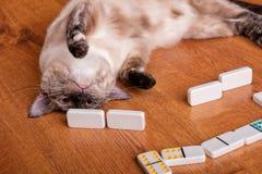 Uma imagem cômico de um tortie aponta o gato Siamese que joga dominós fotos de stock