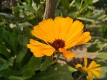 Uma imagem da flor do yallow imagem de stock