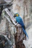 macaw Azul-e-amarelo Foto de Stock