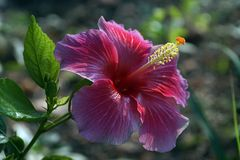 Uma imagem do aginst chinês de Rosa-Sinensis do hibiscus do hibiscus o por do sol fotos de stock royalty free
