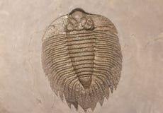 Uma impressão fossilizada de um trilobite fotos de stock royalty free