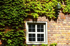 Uma janela de madeira branca é ajustada em uma fachada do tijolo coberto de vegetação com a hera imagens de stock royalty free