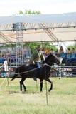 Uma jovem mulher monta um cavalo Competição dos cavaleiros do cavalo Fotografia de Stock Royalty Free