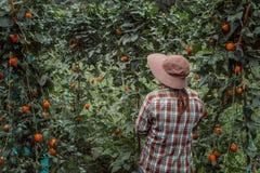 Uma jovem mulher que colhe tomates orgânicos foto de stock royalty free
