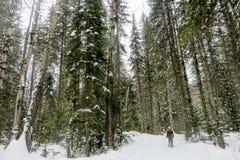 Uma jovem mulher que snowshoeing através das florestas do parque provincial da montanha de Fernie, Columbia Britânica, Canadá imagem de stock royalty free