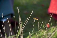 Uma lagarta Imagem de Stock Royalty Free