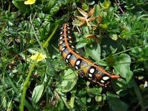 Uma lagarta bonita da borboleta da noite imagem de stock