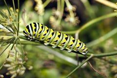 Uma lagarta da borboleta de monarca (plexippus do Danaus) Imagens de Stock