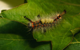 Uma lagarta da traça de Vapourer Fotos de Stock