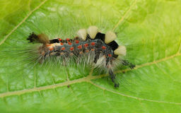 Uma lagarta da traça de Vapourer Imagens de Stock Royalty Free
