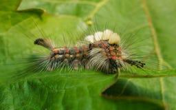 Uma lagarta da traça de Vapourer Imagens de Stock