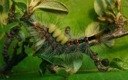 Uma lagarta da traça de Vapourer Imagem de Stock
