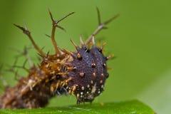 Uma lagarta do marrom spiny, escuro imagens de stock