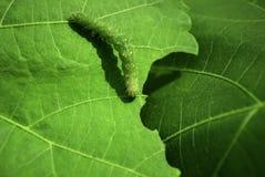 Uma lagarta na folha Fotos de Stock