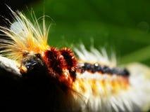 Uma lagarta peludo imagens de stock