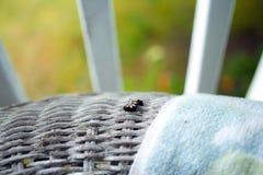 Uma lagarta preta com pontos amarelos rasteja ao longo de uma cadeira de vime Fotografia de Stock Royalty Free