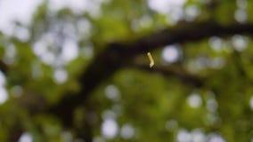Uma lagarta verde bonita pendura em uma Web fina e rasteja acima dela Close-up agrad?vel video estoque