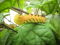 Uma lagarta verde e amarela que anda para encontrar as folhas para comer em uma árvore foto de stock